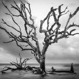 在漂流木头海滩的高大的树木 库存图片