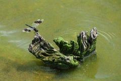 在漂流木头片断的一只蜻蜓  免版税库存图片