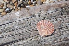 在漂流木头的壳 免版税库存图片