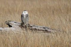 在漂流木头的少年斯诺伊猫头鹰 免版税图库摄影