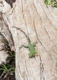 在漂流木头的幼小鬣鳞蜥 免版税库存照片