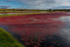 在漂浮在水中的秋天红色莓果的蔓越桔马赫 库存图片