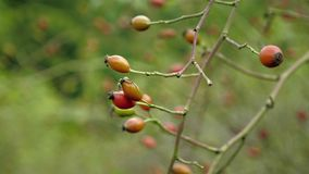 在漂浮在风的灌木的红色石南木 在野蔷薇和叶子的细节视图 影视素材