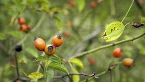 在漂浮在风的灌木的红色石南木 在野蔷薇和叶子的细节视图 股票视频