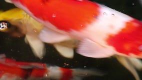 在漂浮绿色水的微粒的美好的小井鲤鱼鱼游泳 股票录像