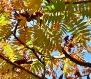 在漆树typhina或staghorn sumac的秋叶 图库摄影