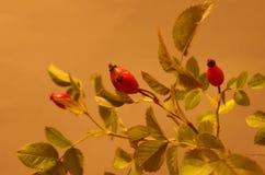 在演播室的野玫瑰果 库存图片
