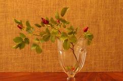 在演播室的野玫瑰果 库存照片