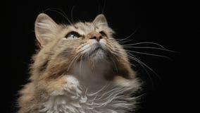 在演播室黑色背景的舔蓬松红色的猫可口地看见食物,查寻美丽的西伯利亚良种的猫,宠物费 影视素材