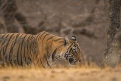 在漫步的一只公虎犊在平衡在Ranthambore国立公园的光 库存照片