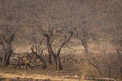 在漫步的一只公虎犊在平衡在Ranthambore国立公园的光 库存图片