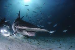 在潜水者中的双髻鲨游泳有开放嘴的在巴哈马 库存图片