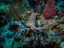 在潜水者前面的大龙虾 免版税库存照片