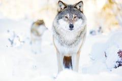 在潜艇攻击小分队的两头狼在冷的冬天森林里 免版税库存图片
