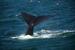 在潜水南部的光滑的鲸鱼的水的尾巴 免版税库存照片