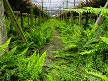 在潮湿地面的绿色蕨行在兰花农厂设置下 库存图片