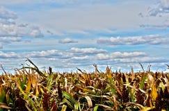 在澳大利亚农场的高梁庄稼在多云蓝天下 免版税库存照片