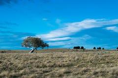 在澳大利亚农村物产的一棵偏僻的树 免版税库存照片