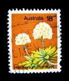 在澳大利亚打印的邮票显示蜡菊属植物thomsonii白花的图象在价值的在18分 库存图片