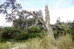 在澳大利亚灌木的一棵老树 库存图片