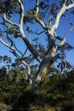 在澳大利亚灌木的庄严玉树 库存照片