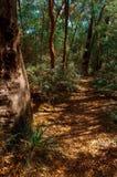 在澳大利亚灌木的玉树 免版税库存照片