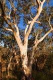 在澳大利亚灌木的玉树 库存照片