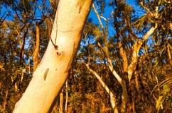 在澳大利亚灌木的玉树 库存图片