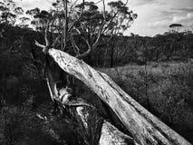 在澳大利亚灌木的死的下落的树 免版税库存图片
