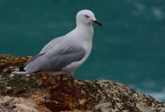 在澳大利亚的海岸的一只海鸥 库存照片