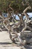 在澳大利亚茶树的扭转的分支 免版税图库摄影