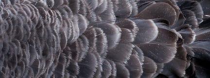 在澳大利亚黑天鹅的羽毛的雨珠 免版税库存图片