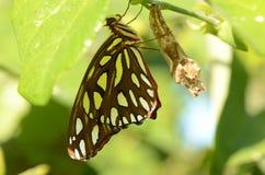 在激情蔓的涌现的海湾Frittilary蝴蝶 库存照片