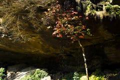 在瀑布下的槭树 免版税库存照片