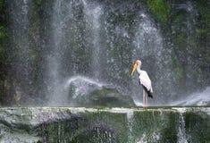 在瀑布前面的乳状鹳 免版税库存照片