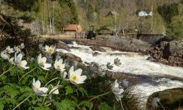 在瀑布前面的五叶银莲花在Boen,在萨蒙河Tovdalselva,在克里斯蒂安桑,挪威 免版税图库摄影