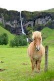 在瀑布前面的冰岛马 免版税库存照片