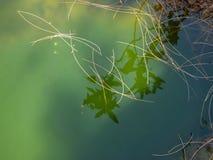 在瀑布的岩石的绿色水坑与浮动针的 免版税库存照片