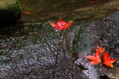 在瀑布的槭树 免版税图库摄影