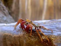 在瀑布的螃蟹 图库摄影