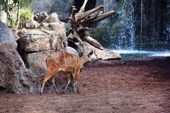 在瀑布的雄鹿 库存照片