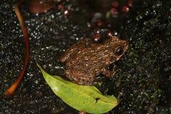 在瀑布的青蛙 免版税库存图片
