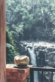 在瀑布背景的年轻新鲜的有机椰子在巴厘岛密林  库存图片
