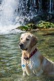 在瀑布背景的金毛猎犬 库存图片