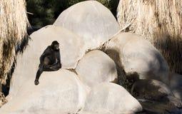 在瀑布附近的母猴子 免版税库存图片