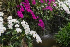 在瀑布附近的白色和紫色兰花 免版税库存图片