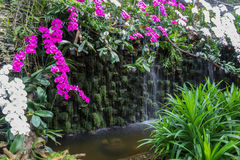 在瀑布附近的白色和紫色兰花 图库摄影