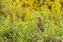 在灌木中被栖息的一只成熟带红色老虎苍鹭 库存照片