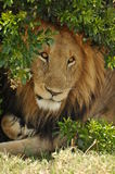 在灌木之下的公狮子 免版税库存照片