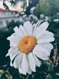 在灌木内的平安的雏菊 库存照片